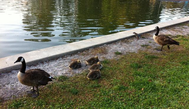 Goslings at Colonial Manor Lake Park