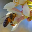 By Ellen Sullivan, RN, BSN, MSA (http://www.doctorsexpressjacksonville.com) A fun summertime day or plans to get that yard work done can quickly fade away when a bee or wasp shows up […]